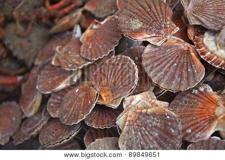 Saint-jacques Shells
