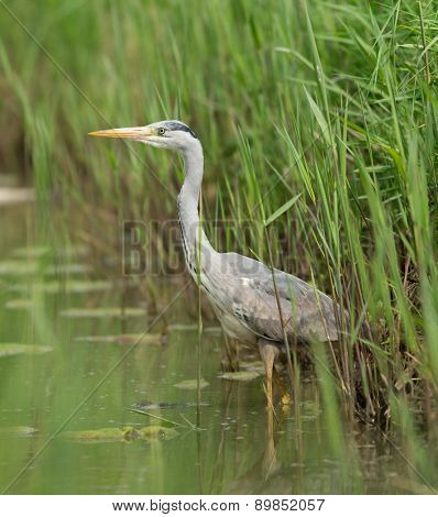 Great Blue Heron during fish hunt, Netherlands.