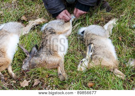 excludes of caught animals (hare)