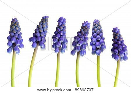 Grape-hyacinth Flower
