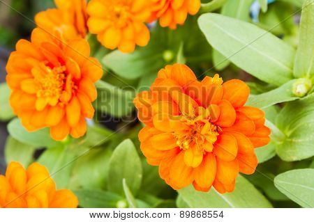 Orange Zinnia Flower In The Garden.
