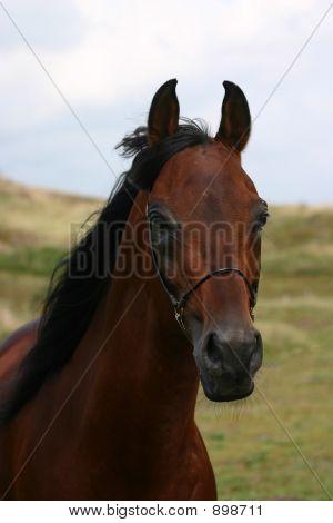 Bay Arabian Portrait