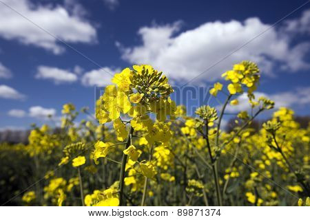 Rapeseed Field In Sunny Bloom