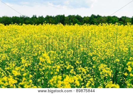 Close-up On Yellow Oilseed Rape Field