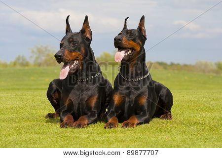 Two Black Dobermans Are Laying On The Grass
