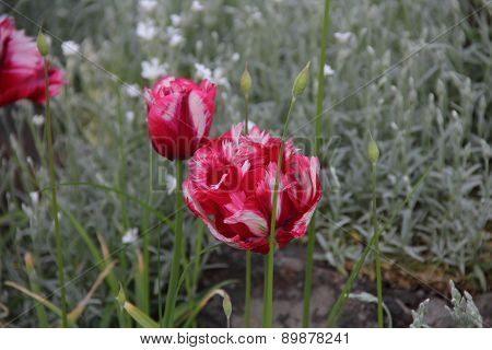 It Is Red - A White Tulip With Terry Petals