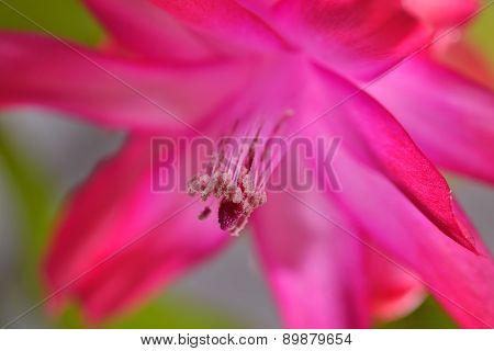 Schlumbergera Flower Chirstmas Cactus