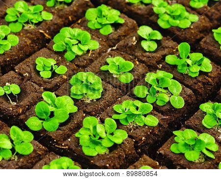 Seedlings In Briquettes