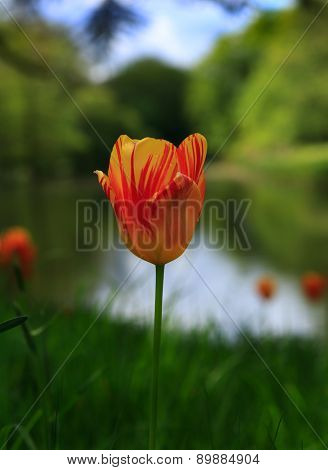 A single bright orange tulip with blurred water and countryside background