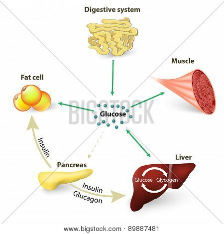 Blood Sugar Or Glucose And Insulin