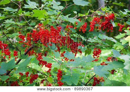 Red currant berries ripening on bush