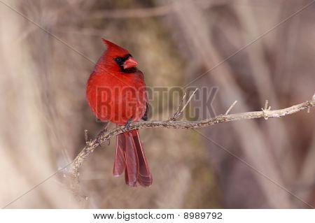 Cardinal On A Cool Autumn Day