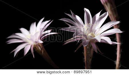 lily cactus Echinopsis flower on black background