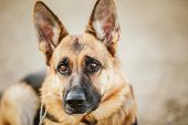 stock photo of sheep-dog  - Brown German Shepherd Dog Close Up Portrait - JPG