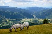 image of feeding horse  - Two white horses feeding on the mountain pasture with mountains and village in background - JPG