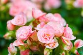 pic of begonias  - Beautiful Pink begonia or fibrous flower in the garden  - JPG