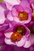 foto of ladybug  - Ladybug ladybird inside pink flowers Adalia septempunctata - JPG