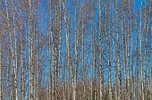 picture of slender  - The slender trunks of young birches against the blue sky - JPG