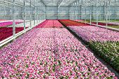 image of cultivation  - Cultivation of white and purple geraniums in a Dutch Greenhouse
