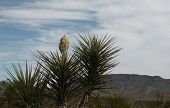 pic of texans  - A cactus flower set against a blue sky - JPG