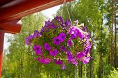 foto of petunia  - bouquet of flowers in a pot hanging Petunia  in the courtyard in summer sunny day                          - JPG