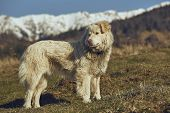 Alert White Furry Sheepdog poster