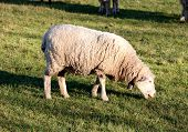 foto of sheep  - Sheep grazing in the meadow of Extremadura in Spain - JPG