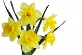 pic of jonquils  - Narcissus daffodil  - JPG