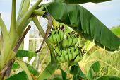 image of bunch bananas  - Bunch of bananas on tree in Mekong Delta Vietnam - JPG