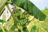 picture of bunch bananas  - Bunch of bananas on tree in Mekong Delta Vietnam - JPG