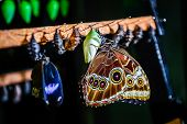 stock photo of chrysalis  - Close - JPG