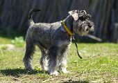 foto of schnauzer  - miniature schnauzer dog running on the lawn - JPG