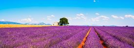 picture of plateau  - Lavender flowers blooming field wheat house and lonely tree - JPG
