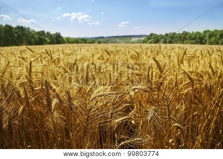 idealistic summer landscape with wheat field