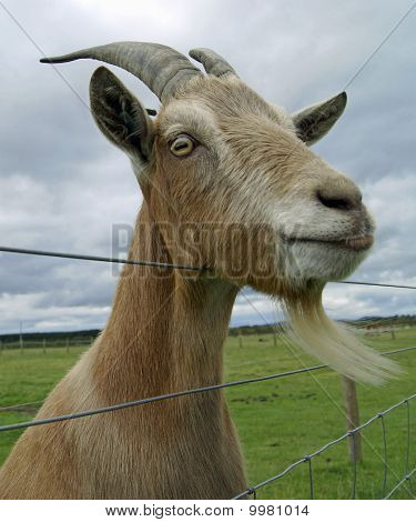 Goat Looking Over A Wire Fence.