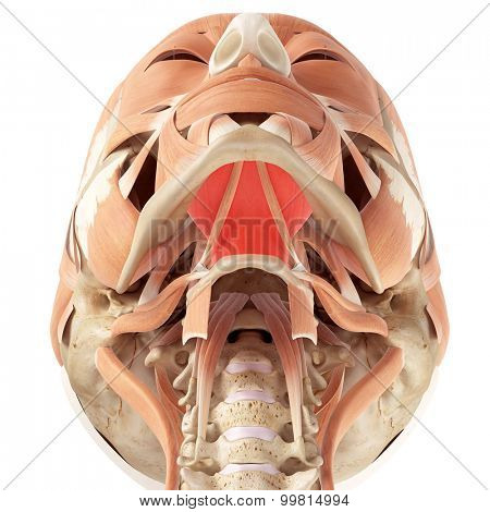 medically accurate illustration of the mylohyoid