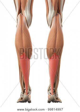 medically accurate illustration of the achilles tendon