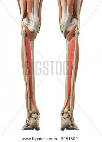 medically accurate illustration of the tibialis posterior