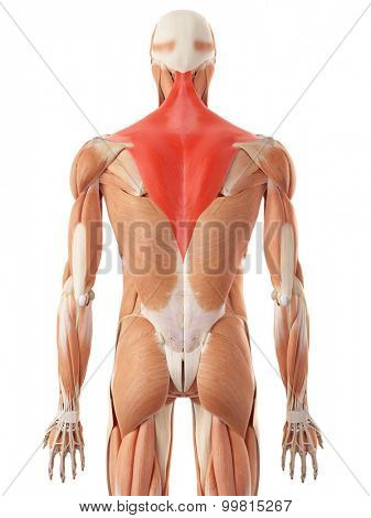 medically accurate illustration of the trapezius