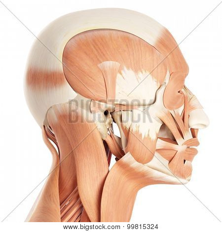 medically accurate illustration of the facial muscles