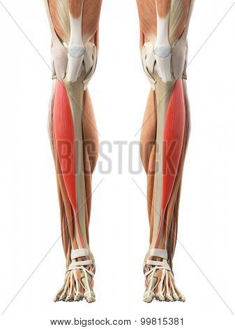 medically accurate illustration of the tibialis anterior