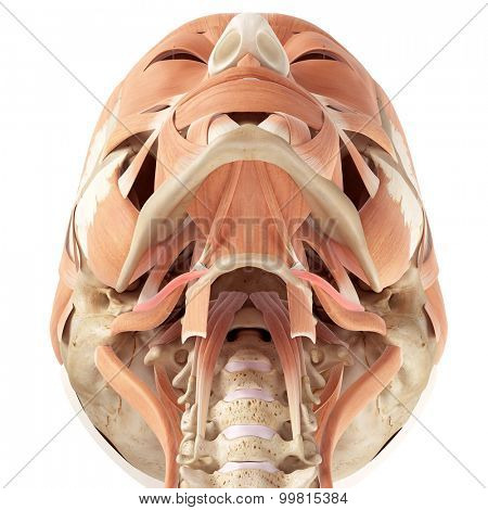 medically accurate illustration of the stylohyoid