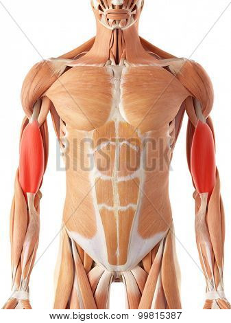 medically accurate illustration of the brachialis