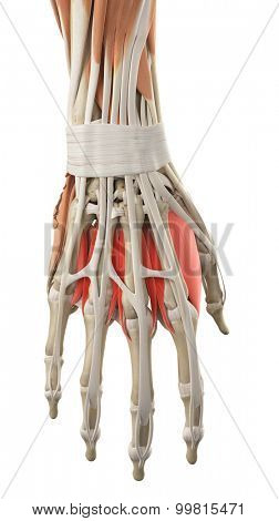 medically accurate illustration of the dorsal interosseous muscles