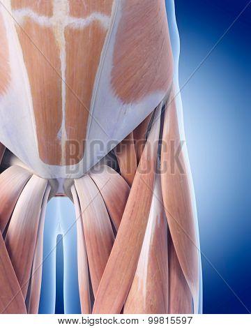 medically accurate illustration of pelvic anatomy