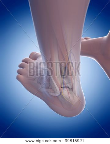 medically accurate illustration of the posterior foot anatomy