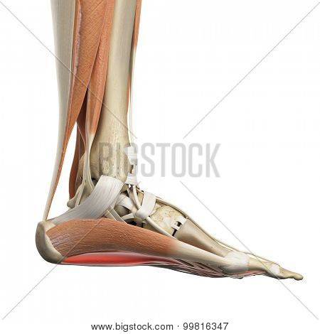 medically accurate illustration of the flexor digitorum brevis