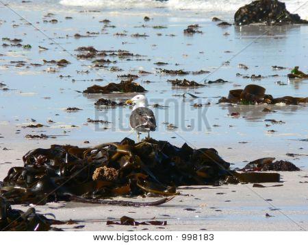Kelp Gull On Beach