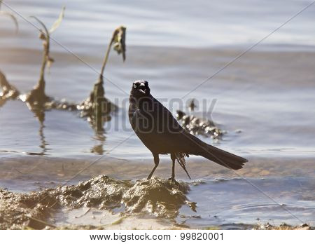 Grackle In Water