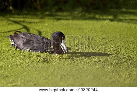 American Coot Waterhen